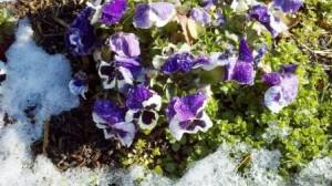 Pansies_in_spring web size copyright Jenifer Joy Madden