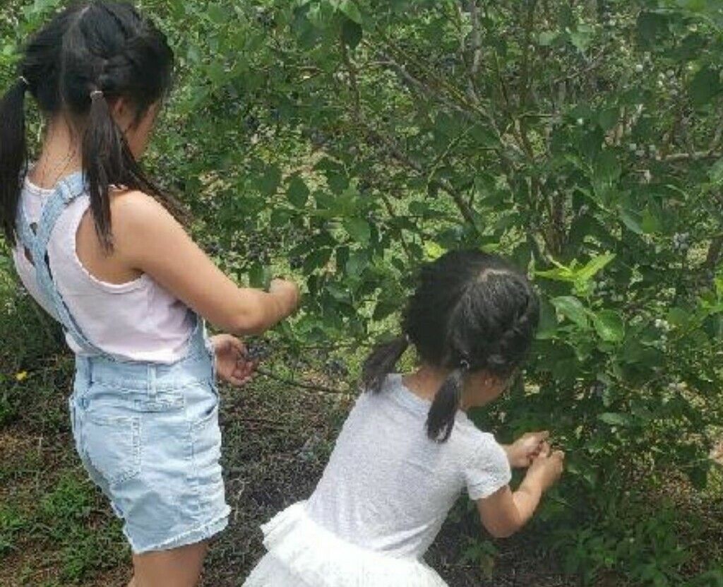 Two girls pick blueberries